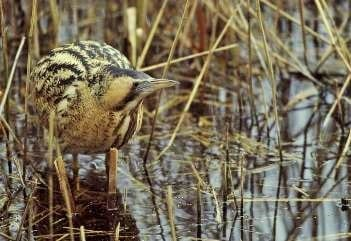 A rare bittern frequents the pond in 1998_AndyHay_rspb-images