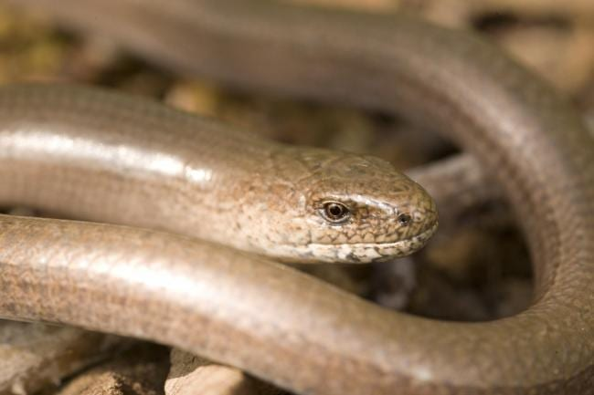 Plans for our 30th Anniversary Year in 2019 include a slow-worm 'highway' for our resident slow-worms - a protected species