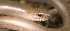 Slow-worm