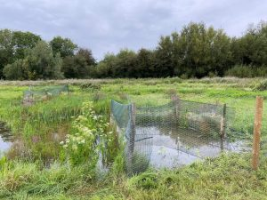 Great Water Parsnip planted by the Project at Cutteslowe