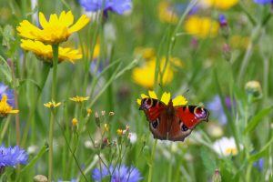 Red Admiral in wildflower meadow