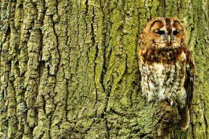 Tawny owl by Tim-Felce-Airwolfhound