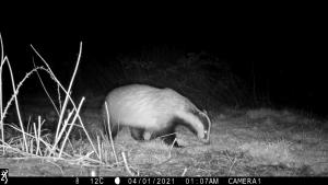 Badger captured on BBNP Wildcam